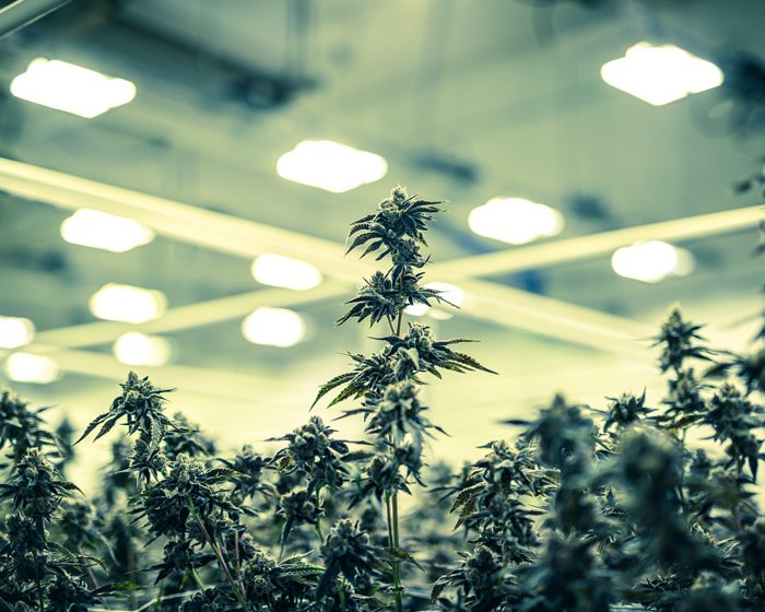 cannabis growing in warehouse