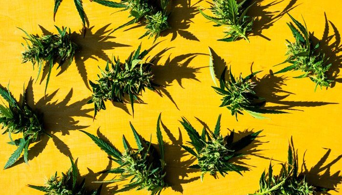 fresh cannabis flowers buds on yellow background